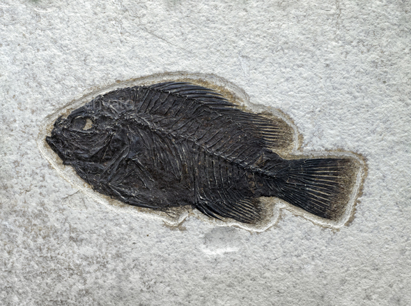 Stone surface with fossilized fish - Stock Photo - Images