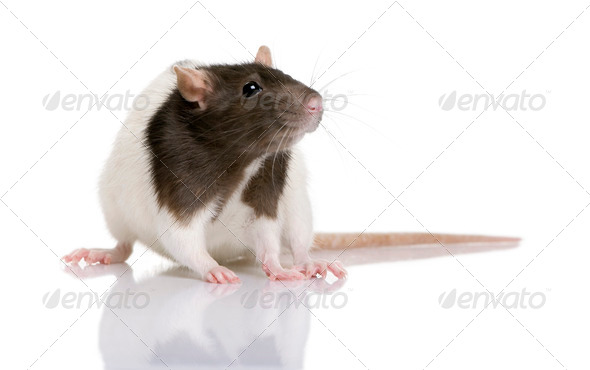 Rat, 1 year old, standing in front of a white background, studio shot - Stock Photo - Images