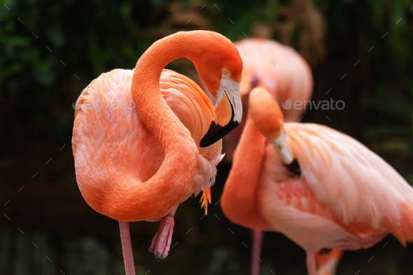 American flamingo Phoenicopterus ruber bird - Stock Photo - Images