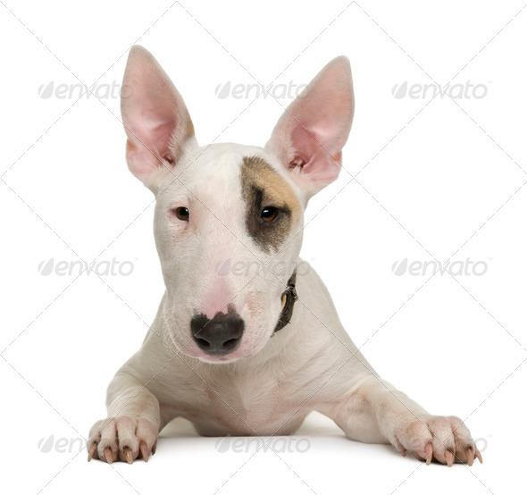 Bull Terrier puppy, 5 months old, in front of a white background, studio shot - Stock Photo - Images