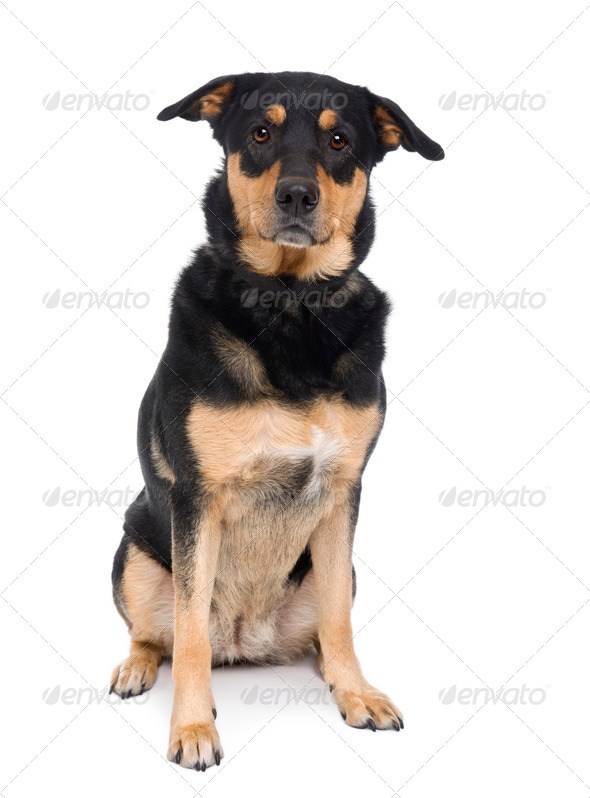 Bastard dog, 3 years old, sitting in front of a white background, studio shot - Stock Photo - Images