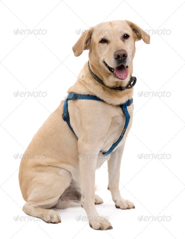 Cream Labrador, 6 years old, sitting in front of a white background, studio shot - Stock Photo - Images