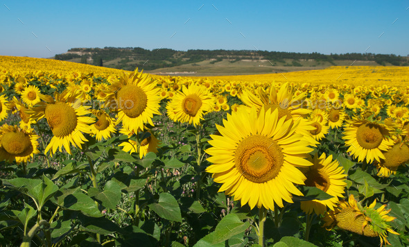 Big field of sunflowers. - Stock Photo - Images