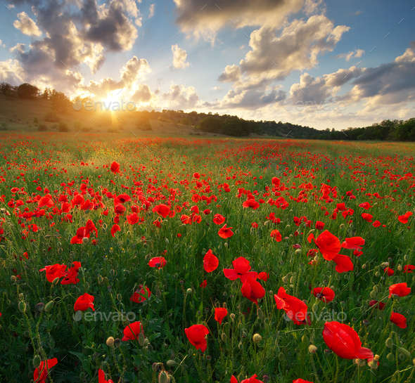 Poppy meadow landscape - Stock Photo - Images