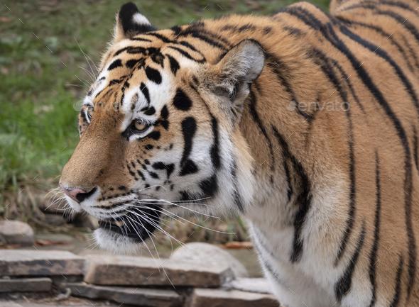 Close Up Of A Predatory Amur Tiger's Face. - Stock Photo - Images