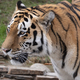 Close Up Of A Predatory Amur Tiger's Face. - PhotoDune Item for Sale