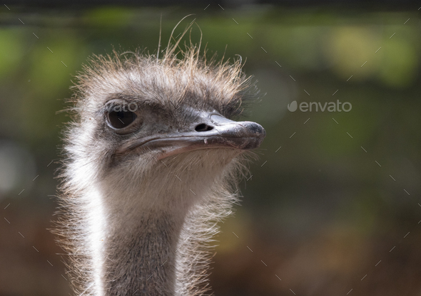 Ostrich Close-up In The Looks Cautiously Around. - Stock Photo - Images