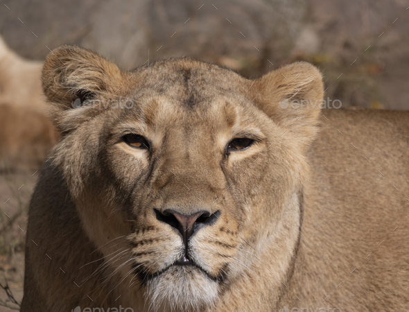 Portrait Lioness Basking In The Warm Sun After Dinner. - Stock Photo - Images