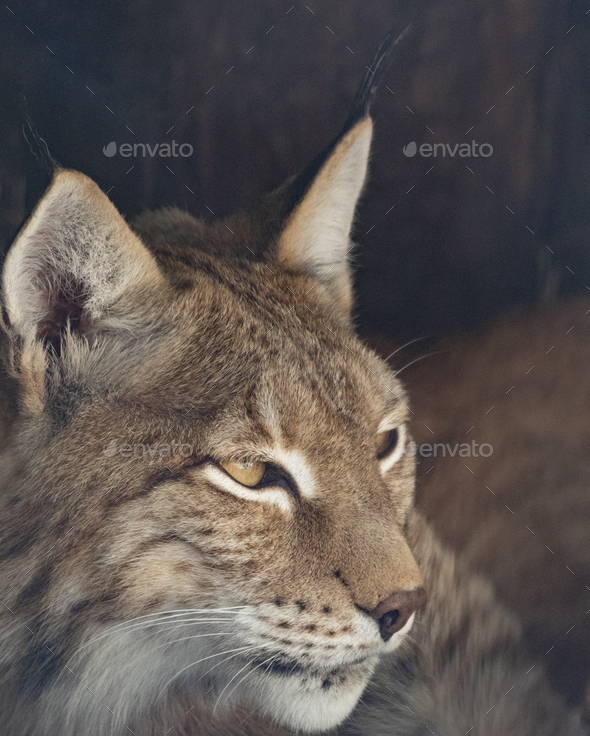 Lynx Looks With Predatory Eyes From The Shelter. - Stock Photo - Images
