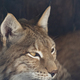 Lynx Looks With Predatory Eyes From The Shelter. - PhotoDune Item for Sale