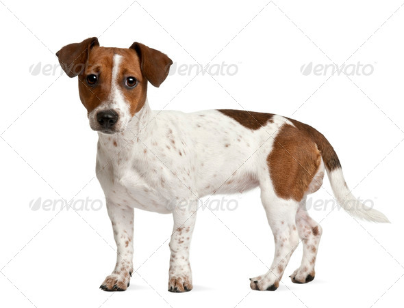Jack Russell Terrier puppy (7 months old), standing in front of a white background - Stock Photo - Images