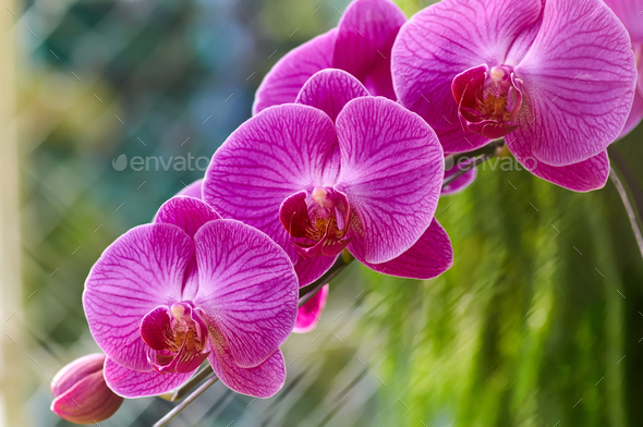 The magenta color orchid blossom - Stock Photo - Images