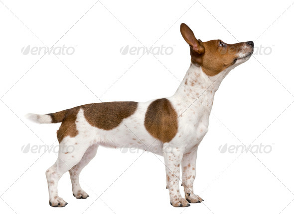Jack Russell Terrier puppy, 7 months old, standing in front of a white background - Stock Photo - Images