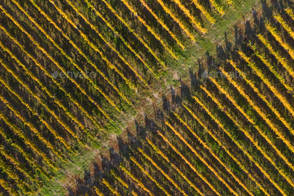 Aerial view of a vineyard plantation in late afternoon lights in Europe. Drone shot - Stock Photo - Images