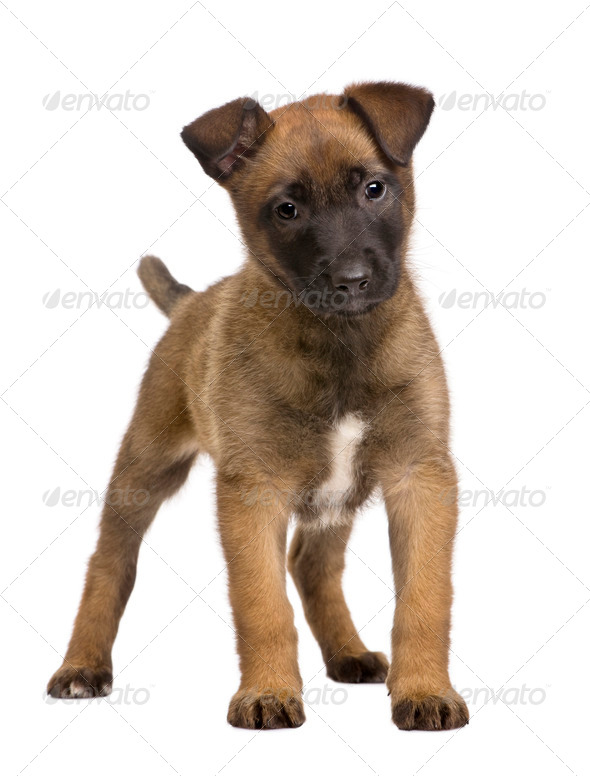 Belgian Shepherd Dog, 7 weeks old, standing in front of a white background - Stock Photo - Images