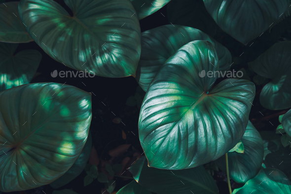 Tropical green leaves textured and background, Nature concept - Stock Photo - Images