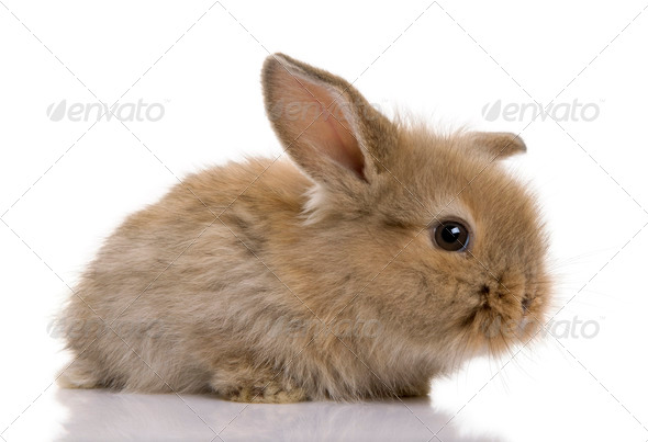 Brown baby rabbit in front of a white background, studio shot - Stock Photo - Images