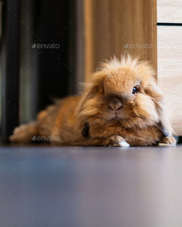 Lionhead bunny - Stock Photo - Images