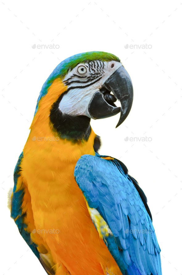 Blue and Gold Macaw colorful birds isolated on white - Stock Photo - Images
