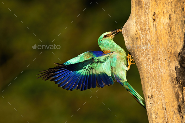 European roller landing with cockchafer in beak at sunset - Stock Photo - Images