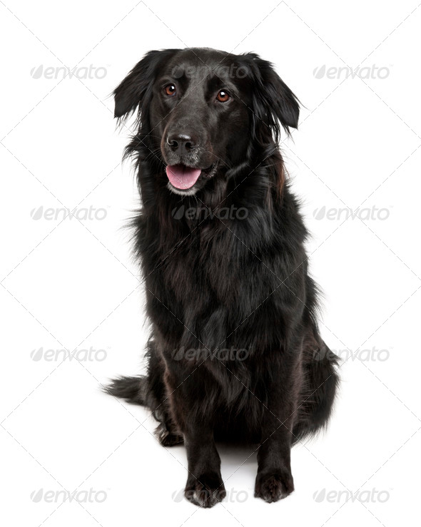 Cross-breed between a Labrador and a Australian Shepherd, sitting in front of a white background - Stock Photo - Images