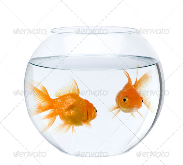 Two goldfish in fish bowl, in front of white background - Stock Photo - Images