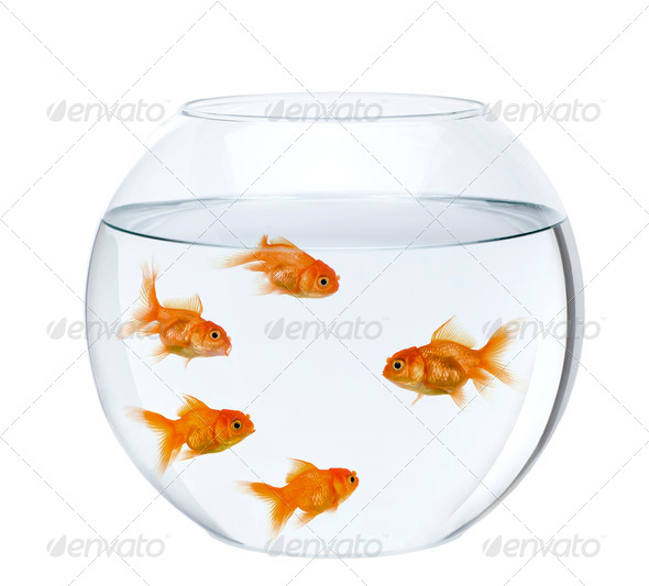 Five goldfish in fish bowl, in front of white background - Stock Photo - Images