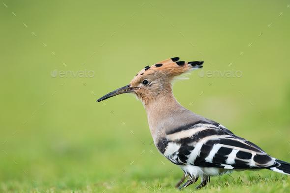beautiful eurasian hoopoe bird head closeup - Stock Photo - Images
