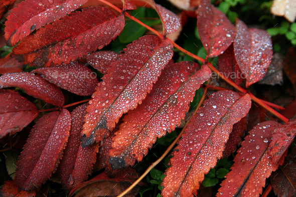 Dew on leaves in cold autumn dawn - Stock Photo - Images