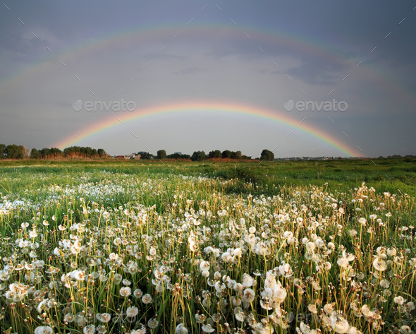 Rainbow over the field with flowers - Stock Photo - Images