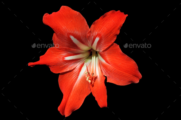 Red lily on a black background - Stock Photo - Images