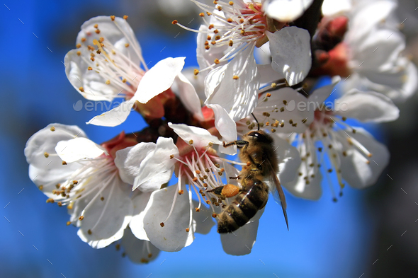 Bee at work - Stock Photo - Images