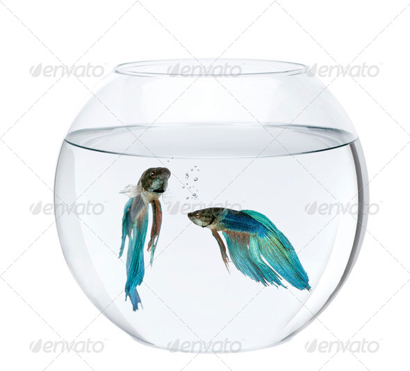 Blue Siamese fighting fish in fish bowl, Betta Splendens, in front of white background - Stock Photo - Images