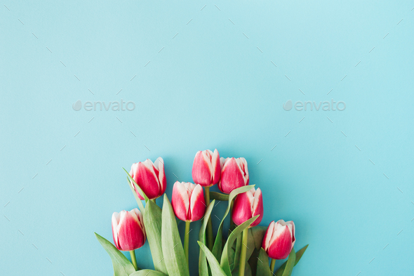 Pink Tulips on Blue Background. - Stock Photo - Images