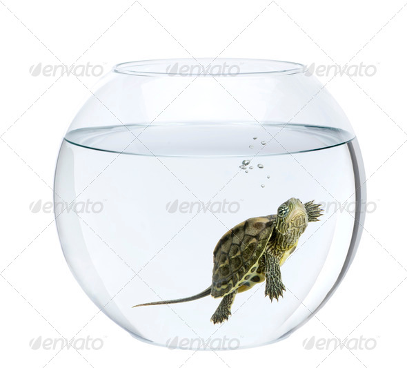 Small turtle swimming in fish bowl, in front of white background - Stock Photo - Images