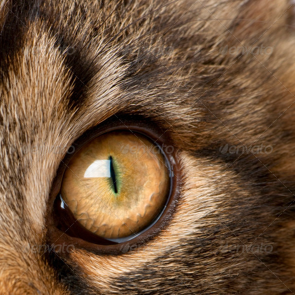 Close-up of Maine Coon's eye, 7 months old - Stock Photo - Images
