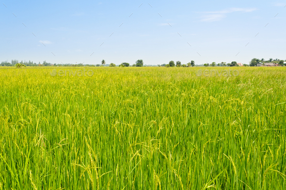 Landscape green rice fields - Stock Photo - Images