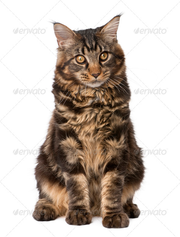 Maine Coon, 7 months old, sitting in front of white background, studio shot - Stock Photo - Images