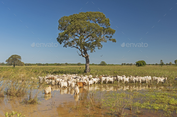 Cattle under a tree in the Pantanal - Stock Photo - Images