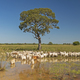 Cattle under a tree in the Pantanal - PhotoDune Item for Sale