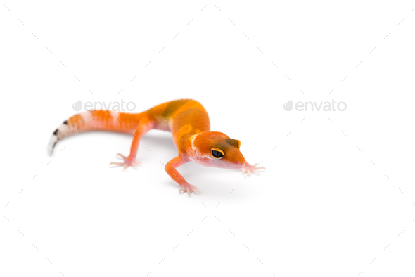 The common leopard gecko isolated on white background - Stock Photo - Images