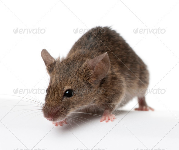 Wild mouse, in front of white background, studio shot - Stock Photo - Images