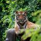 bengal tiger lying  down among green bush - PhotoDune Item for Sale