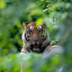 bengal tiger lying  down among green bush - PhotoDune Item for Sale