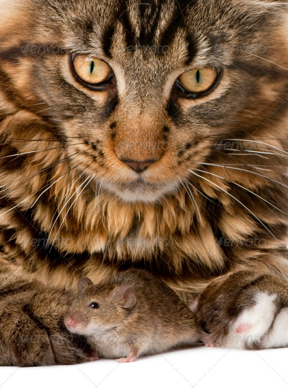 Close-up portrait of Maine Coon and wild mouse, 7 months old - Stock Photo - Images
