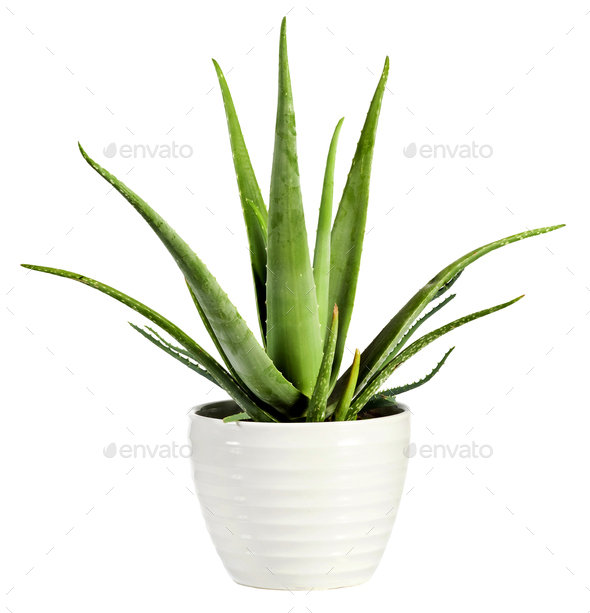 Isolated fresh Aloe vera plant in a flowerpot - Stock Photo - Images