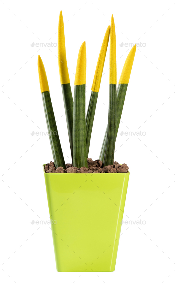 Colourful yellow Sanseveria Pencil plant - Stock Photo - Images