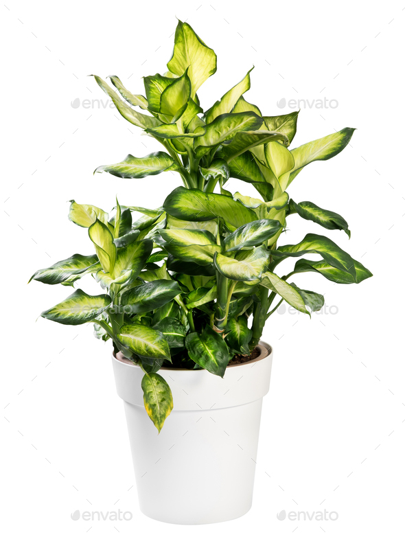 Variegated potted Dieffenbachia plant on white - Stock Photo - Images