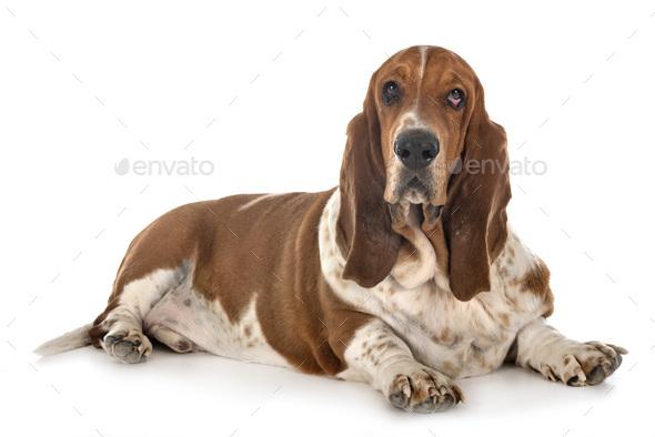 basset hound in studio - Stock Photo - Images