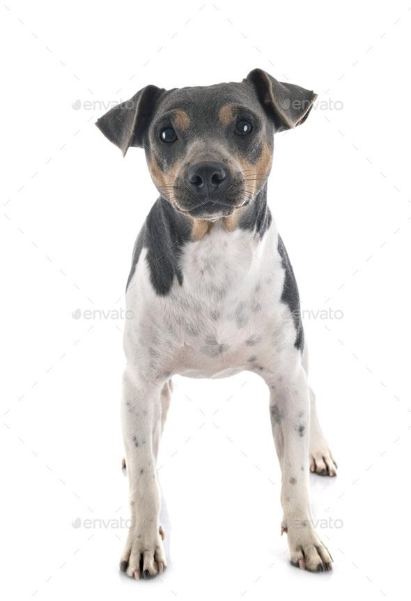 Brazilian Terrier in studio - Stock Photo - Images